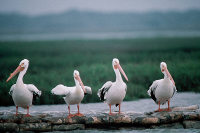 Photo: White pelicans at Aransas NWR in Texas.