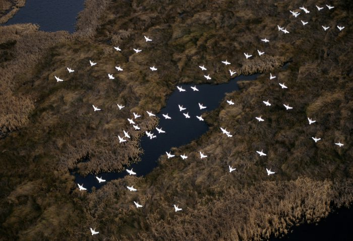 Photo: White pelicans in flight over Sabine NWR in Louisiana.