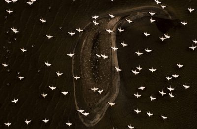 Photo: White pelicans flying over a barrier island along the Gulf Coast of Louisiana