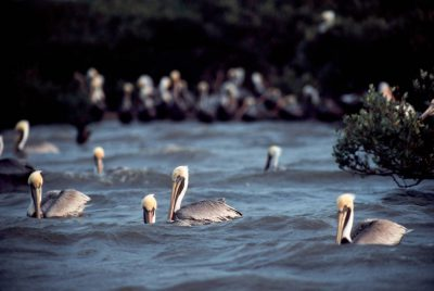 Photo: Brown and white pelicans at Pelican Island NWR, Florida.