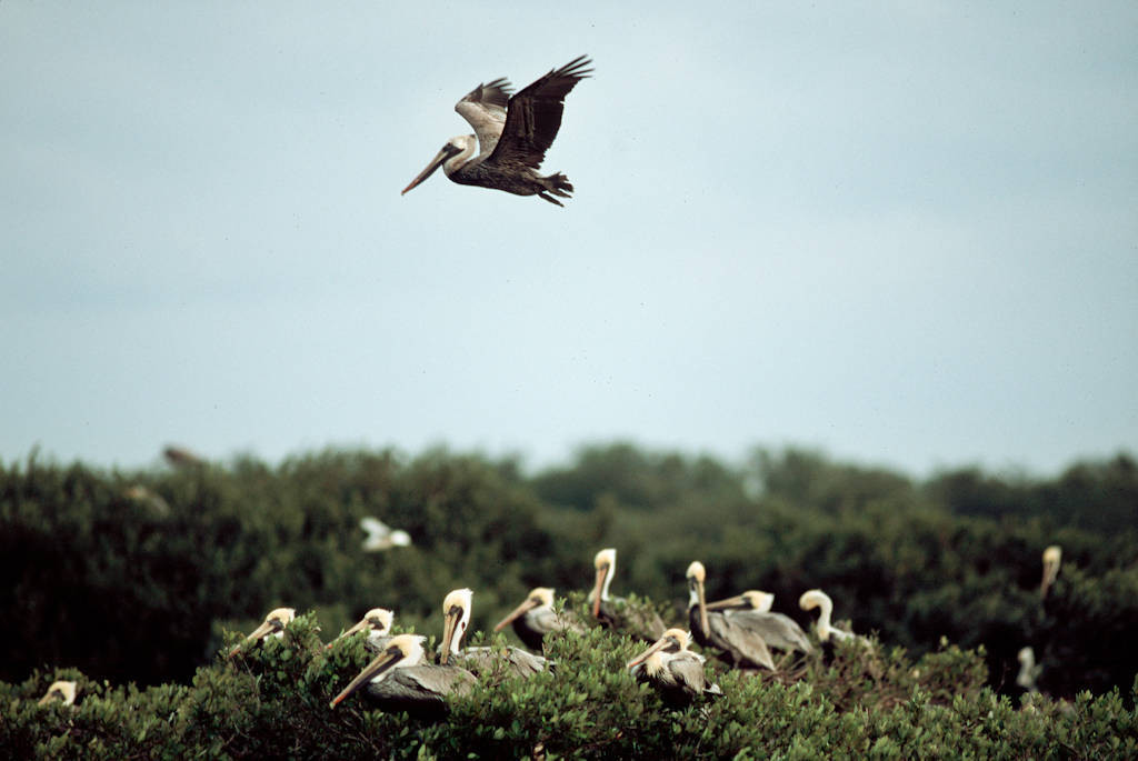 Photo: Brown pelican at Pelican Island NWR.