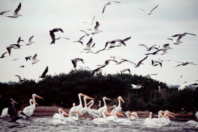Photo: Brown and white pelicans at Pelican Island NWR.