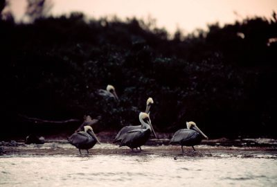Photo: Brown pelicans at Pelican Island NWR.