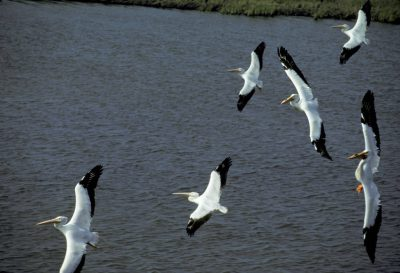 Photo: White pelicans over a marsh north of Grand Isle, Louisiana.