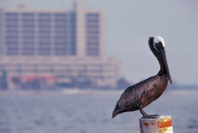 Photo: A brown pelican at Clearwater Beach, FL.