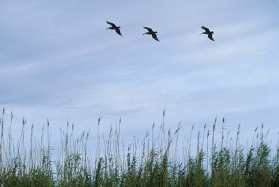 Photo: Pelicans in flight over a marsh near New Orleans, LA.