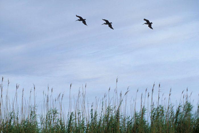 Photo: Pelicans in flight over a marsh near New Orleans, LA.