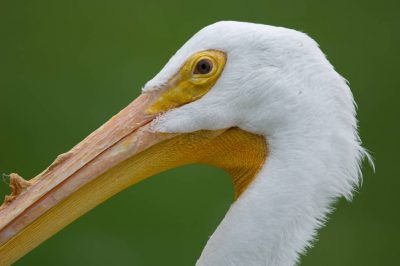 A white pelican (Pelecanus erythrorhynchos) at the Sunset Zoo in Manhattan, Kansas.