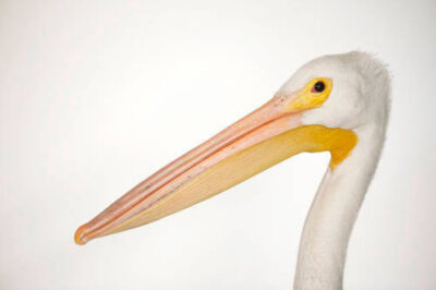 A white pelican (Pelecanus erythrorhynchos).