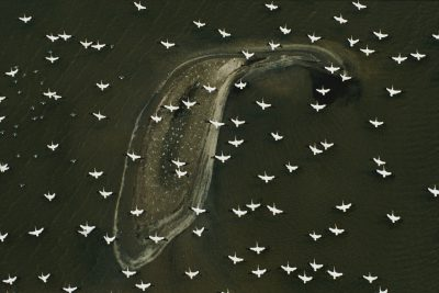 White pelicans (Pelecanus erythrorhynchos) in migration flight over a barrier island fringing a Louisiana salt marsh in the Gulf of Mexico.
