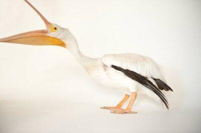 Portrait of a white pelican (Pelecanus erythrorhynchos).