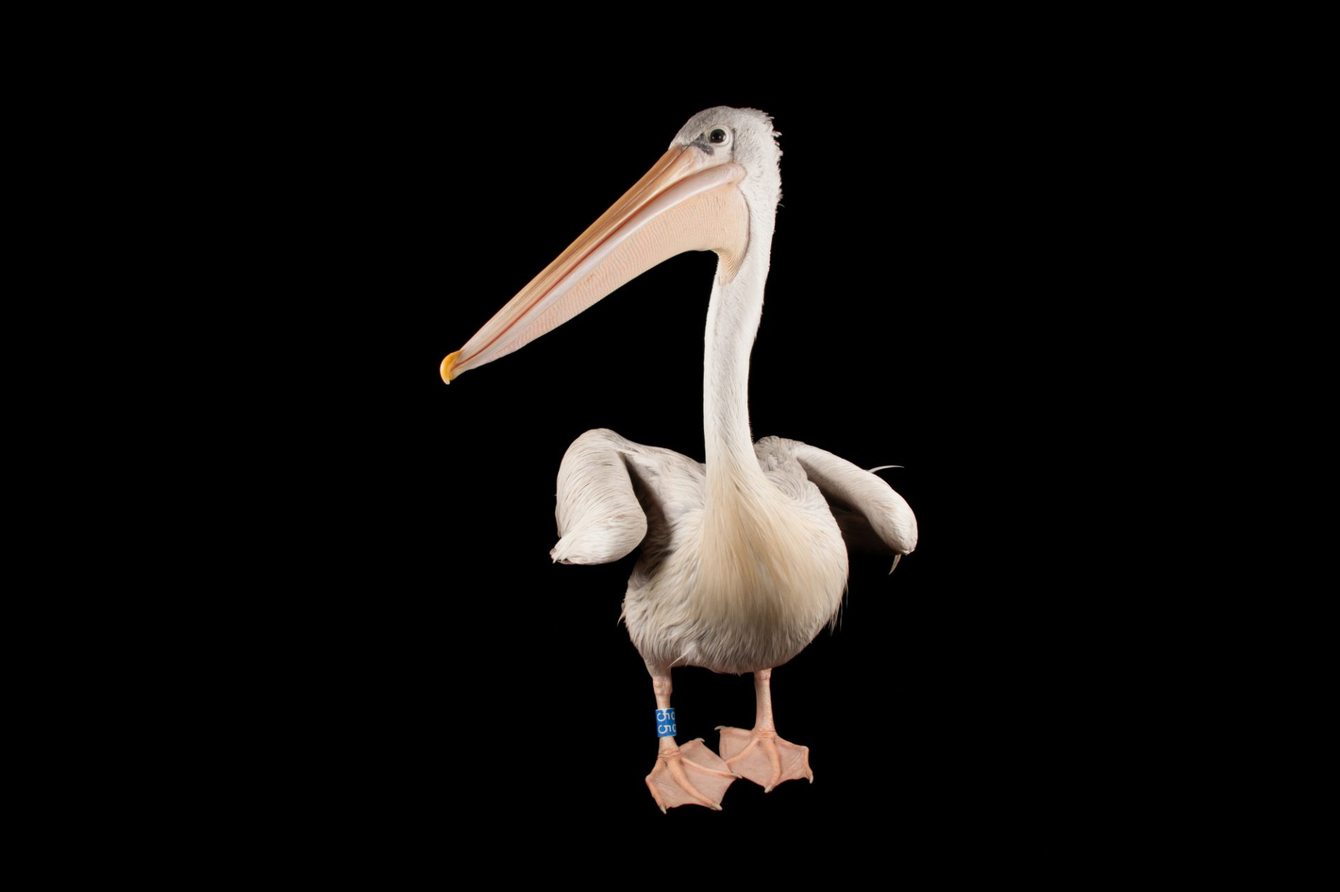 A pink-backed pelican (Pelecanus rufescens) at the Sedgwick County Zoo in Wichita, Kansas.
