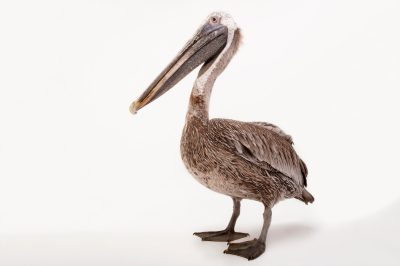 Picture of a brown pelican (Pelecanus occidentalis) at the Gladys Porter Zoo in Brownsville, Texas.