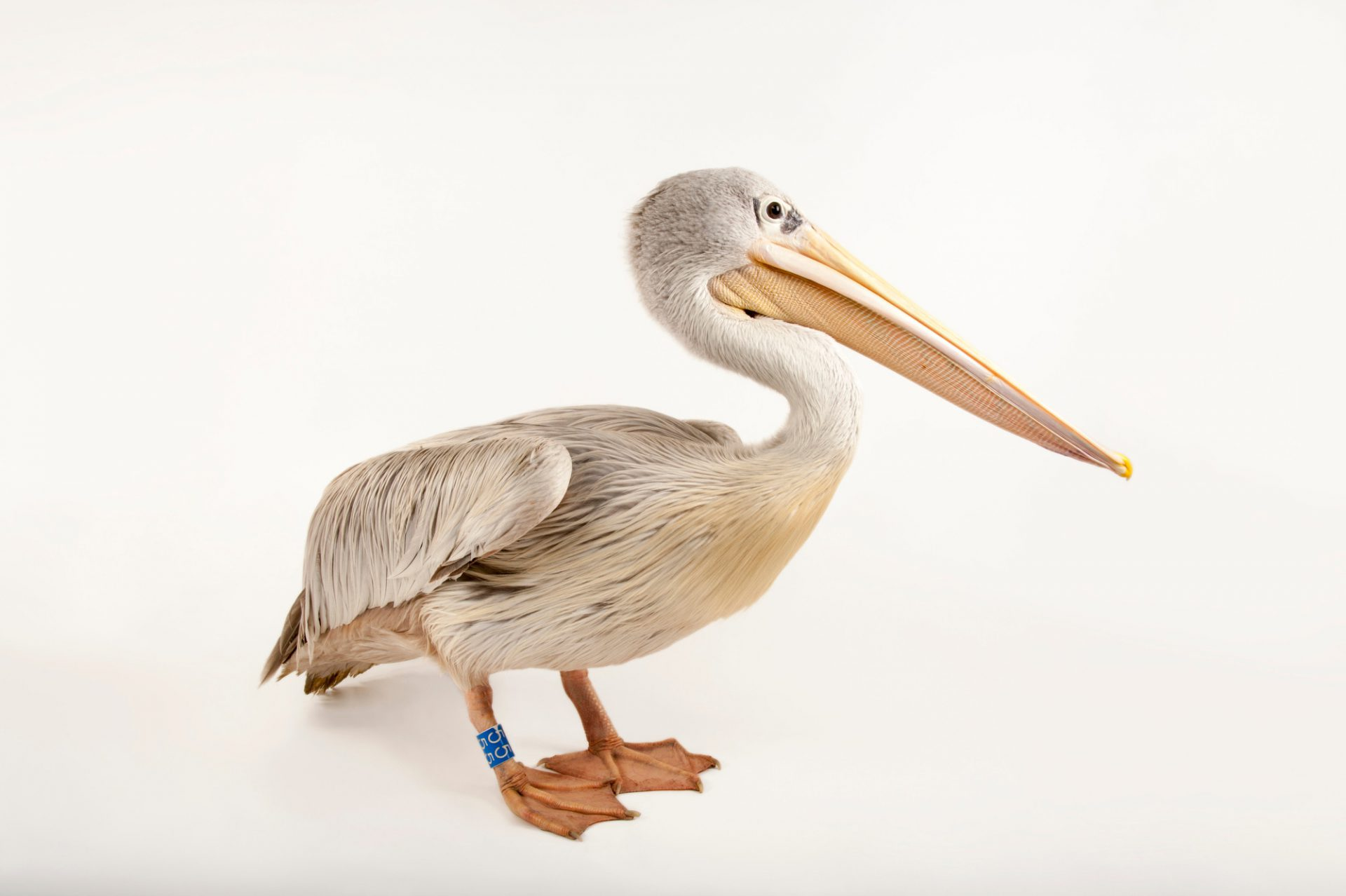 A pink-backed pelican (Pelecanus rufescens) at the Sedgwick County Zoo.