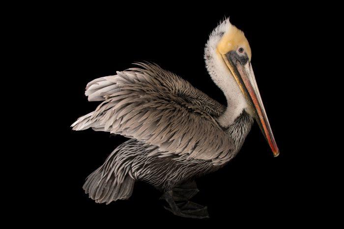 Picture of a brown pelican (Pelecanus occidentalis) at the Santa Barbara Wildlife Care Network.