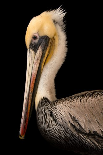 Picture of a brown pelican (Pelecanus occidentalis) at the Santa Barbara Wildlife Care Network.