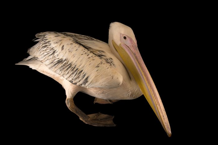 Photo: Eastern white pelican (Pelecanus onocrotalus) at the Sedgwick County Zoo.