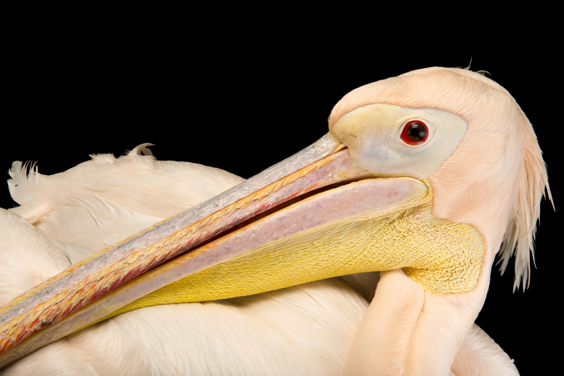Photo: Great white or rosy pelican (Pelecanus onocrotalus) at Kamla Nehru Zoological Garden, Ahmedabad, India.