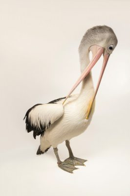 Photo: An Australian pelican (Pelecanus conspicillatus) at the Plzen Zoo in the Czech Republic.