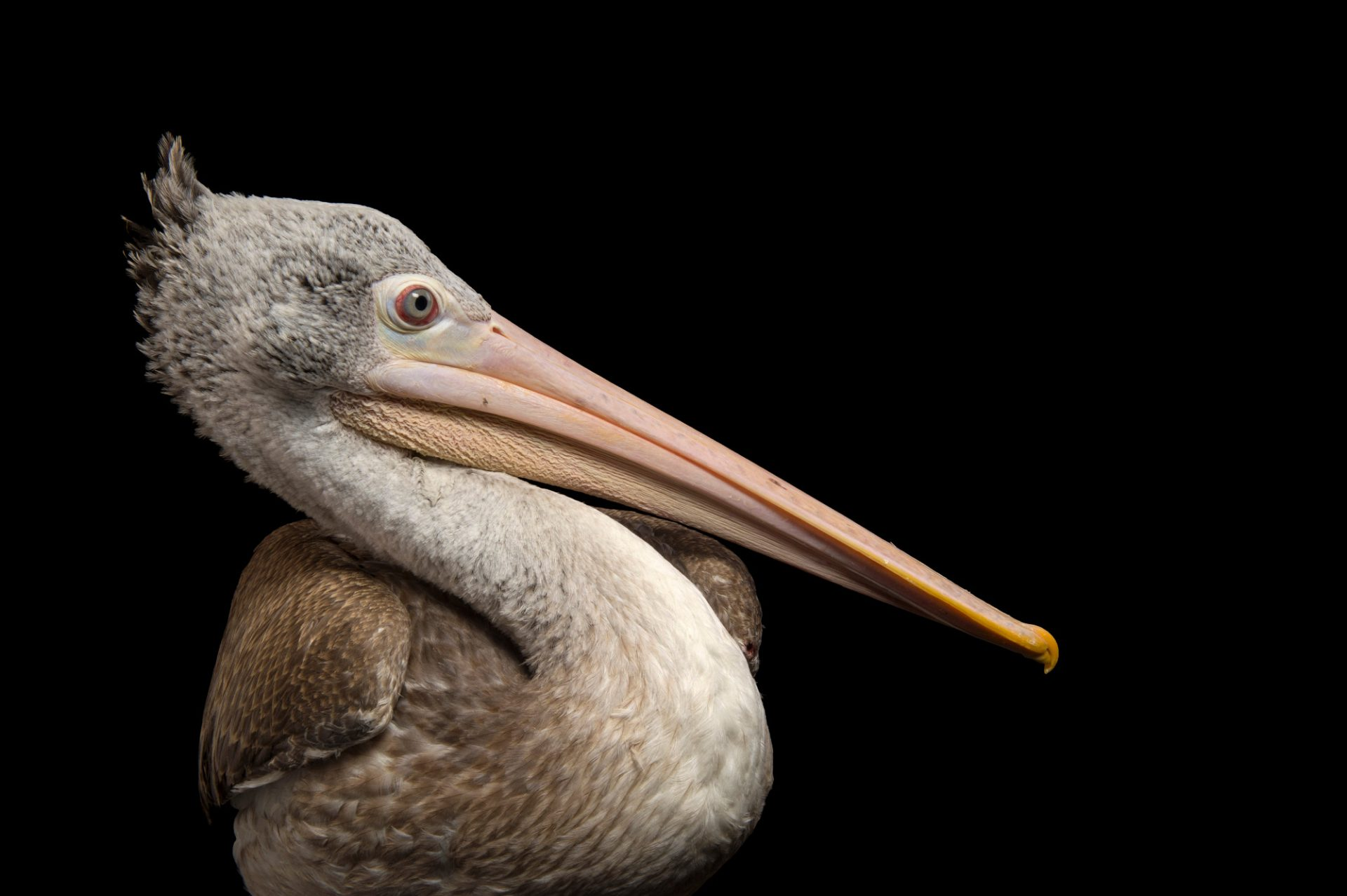 Photo: A spot billed pelican (Pelecanus philippensis) at the Plzen Zoo in the Czech Republic.