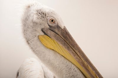 Photo: Dalmatian pelican (Pelecanus crispus) from Parc des Oiseaux in Villars Les Dombes, France.