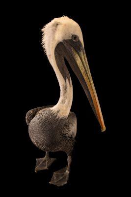 Photo: A Peruvian pelican (Pelecanus thagus) at the Jurong Bird Park.