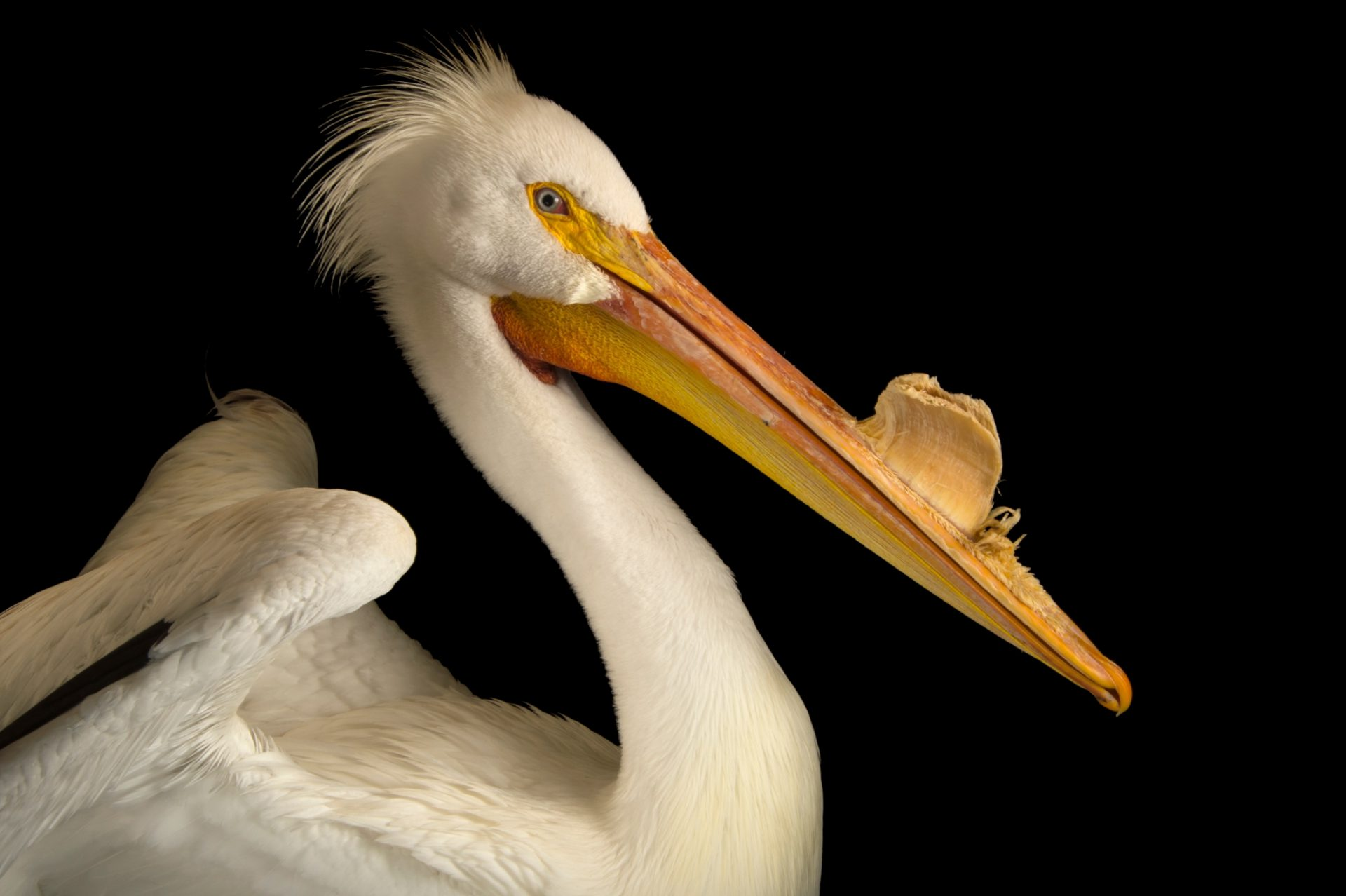 Photo: American white pelican (Pelecanus erythrorhynchos) at Rogers Wildlife Rehabilitation Center.