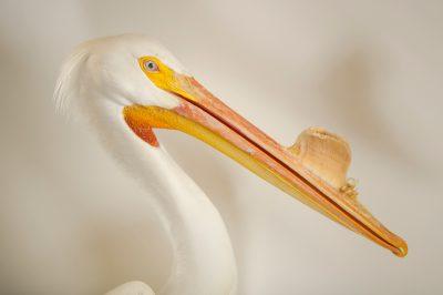 Photo: American white pelican (Pelecanus erythrorhynchos) at Rogers Wildlife Rehabilitation Center.