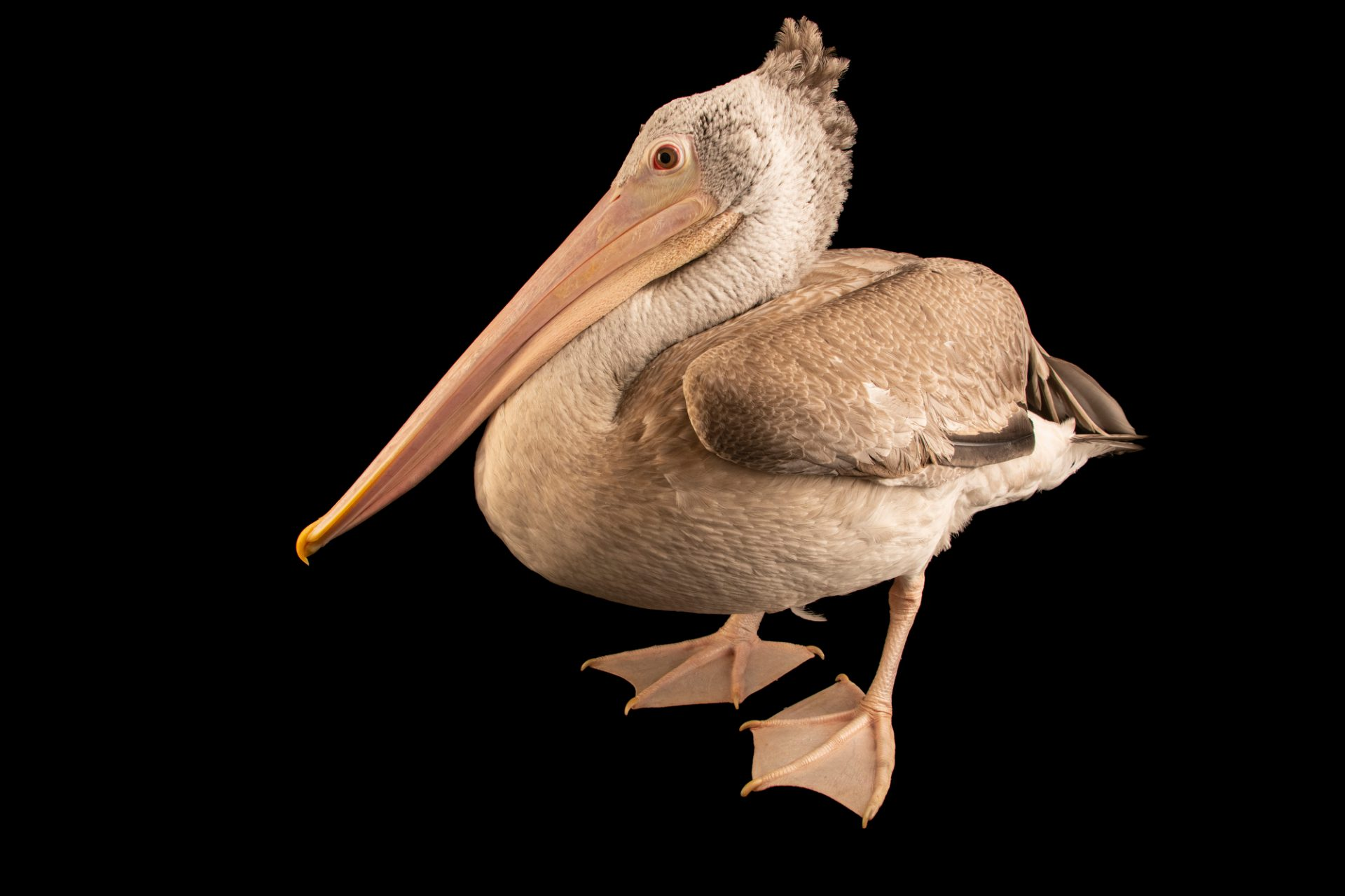 Photo: Spot-billed Pelican (Pelecanus philippensis) at the Angkor Centre for Conservation of Biodiversity (ACCB) in Siem Reap, Cambodia.