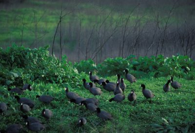 Photo: American coots at San Luis NWR in California's central valley.