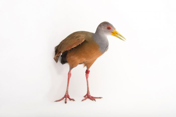 Picture of a grey-necked wood rail (Aramides cajaneus) at the Omaha Zoo.