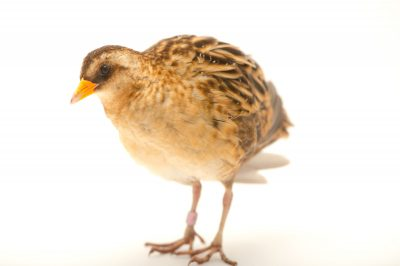 Picture of a Yellow rail (Coturnicops noveboracensis) at the Columbus Zoo.