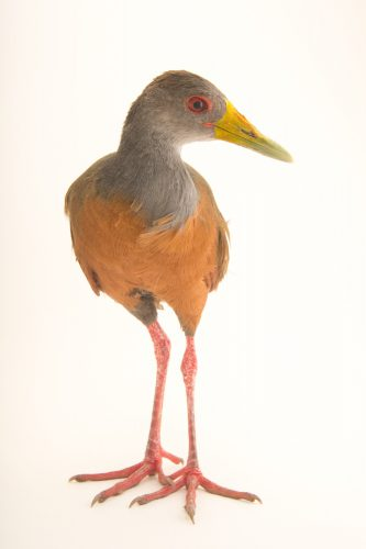 Picture of a grey-necked wood rail (Aramides cajaneus cajaneus) at the Nispero Zoo.