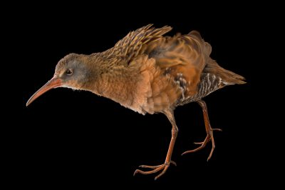 Photo: A Virginia rail (Rallus limicola) courtesy of Nebraska Wildlife Rehab of Omaha, NE.