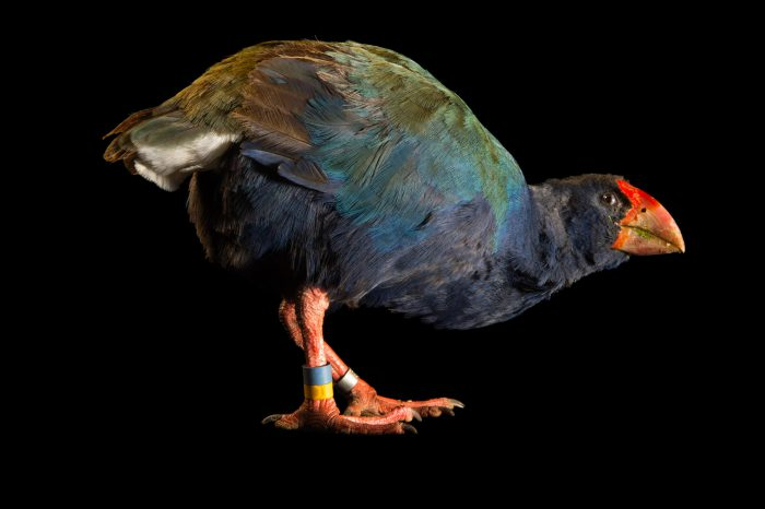 Photo: An endangered South Island takahe (Porphyrio hochstetteri) at Zealandia, a wildlife preserve in Wellington.