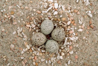 Photo: The eggs of a least tern (endangered) blend in with their sandy background on the shore of Lake McConaughy.