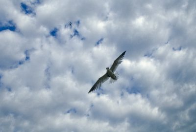 Photo: An adult least tern (endangered) dive-bombs to protect its nest near Lake McConaughy in Nebraska.