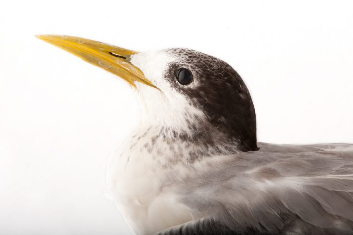 Lesser crested tern (Sterna bengalensis)