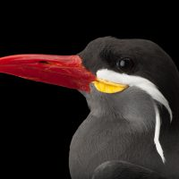 Photo: An Inca tern (Larosterna inca) at the Sedgwick County Zoo in Wichita, Kansas.