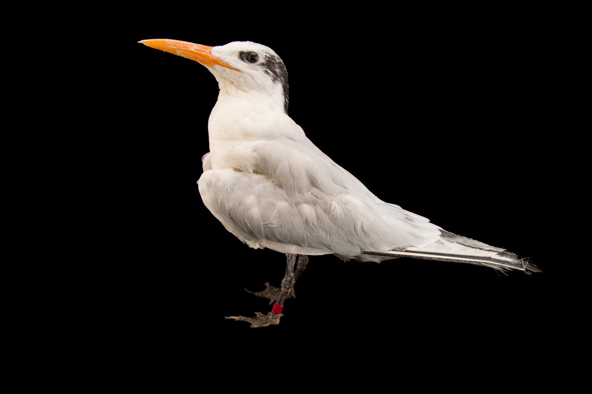 Picture of a royal tern (Thalasseus maximus) at the Tulsa Zoo.