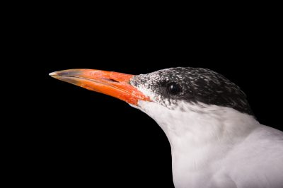 Picture of a Caspian tern (Hydroprogne caspia) at Tracy Aviary.