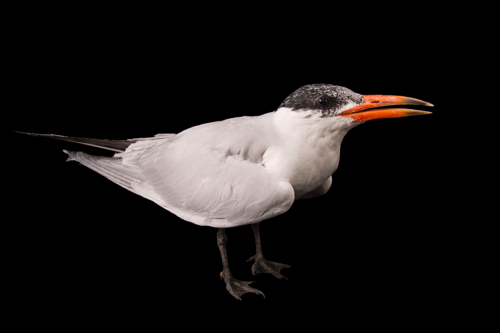 Picture of a Caspian tern (Hydroprogne caspia) at Tracy Aviary.