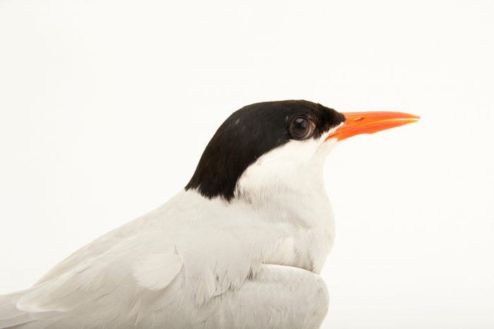 Picture of an Arctic tern (Sterna paradisaea) at the Buttonwood Park Zoo in New Bedford, Massachusetts.