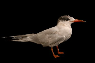 Picture of a female common tern (Sterna hirundo) at the Buttonwood Park Zoo in New Bedford, Massachusetts.