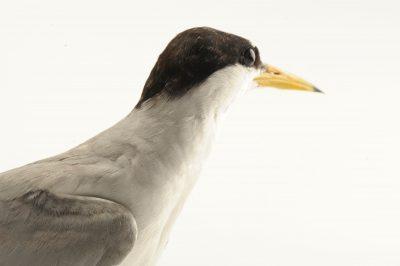 Photo: A federally endangered interior least tern (Sterna antillarum athalassos).