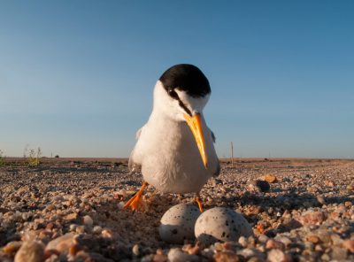 Photo: A federally endangered interior least tern (Sterna antillarum athalassos) on a nest sand pit along the Platte River near North Bend, NE.