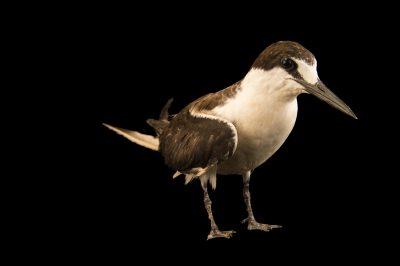 Photo: A sooty tern (Onychoprion fuscatus) at the Marathon Wild Bird Center in Marathon, Florida.