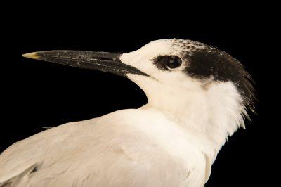 Photo: A sandwich tern (Thalasseus sandvicensis) at the Marathon Wild Bird Center in Marathon, Florida.