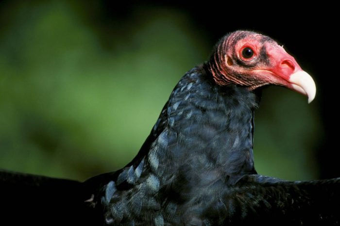 Photo: The turkey vulture's (common) special adaptation is its bare head; the carrion on which it feeds would quickly become infected in its feathers.