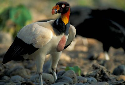 Photo: King vulture in Bolivia's Madidi National Park.